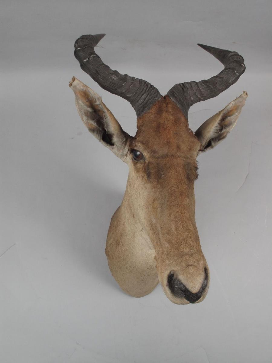 Early Coke Hartebeest Athi Plains (kenya) 1909
