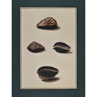 French School Of The Eighteenth Century, Study Of Shells After Life