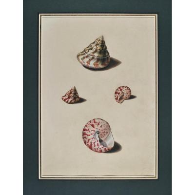 French School àf 18th Century, Study Of Shells