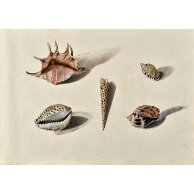 French School Of The XIXth Century Study Of Shells After Life