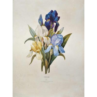 After Pj Redouté (1759-18409), Iris, Lithograph In Colors