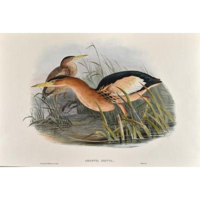 John Gould (1804-1881), Ardetta Minuta, Lithographie En Coloris d'époque