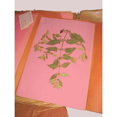 Herbier Contenant 26 Planches, Début XXe Siecles , Cabinet De Curiosites , Plantes
