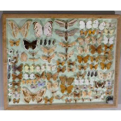 Boîte d'Entomologie Aux Papillons Et Insectes, époque Fin XX ème