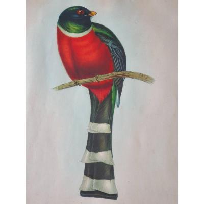 Magnifique Lithographie Trogon Mexicanus Par Hullmandel