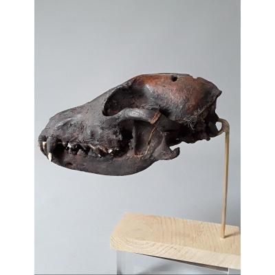 Crâne De Chien  Timor