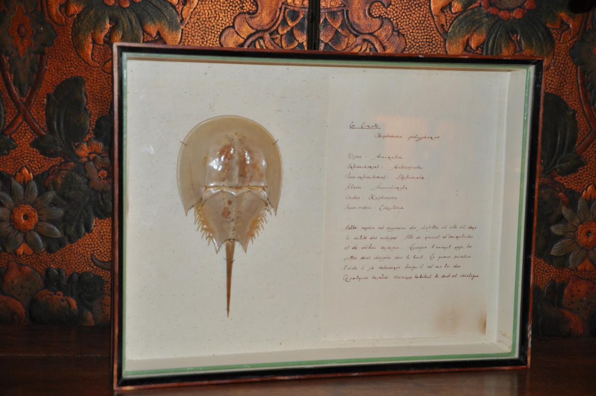 Horseshoe Crab In A Frame Collection