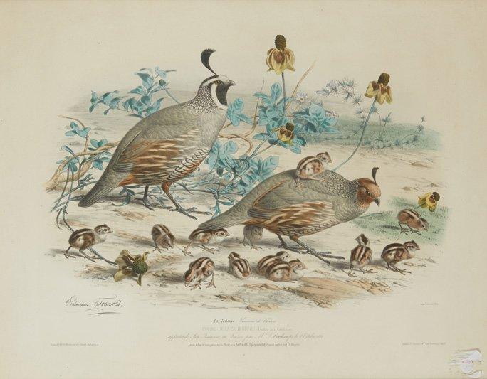 Edouard Travies (1809-1859) '' Colins De California '' Lithograph