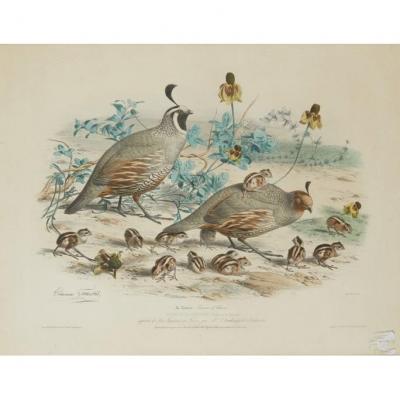 Edouard Travies (1809-1859) ''colins De Californie'' Lithographie