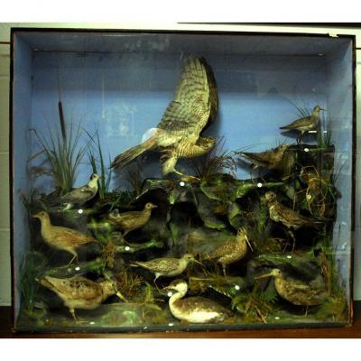 Taxidermie, Vitrine De Collection, Oiseaux Des Marais, Objet De Curiosité, Epoque Victorienne