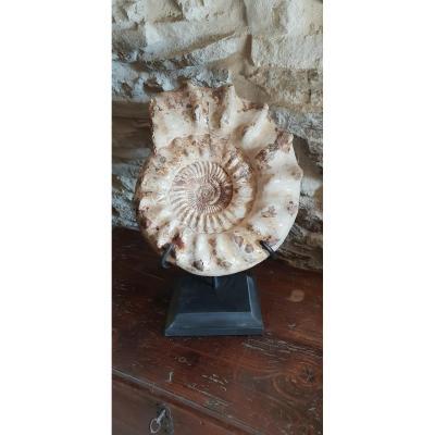 Fossile Ammonite Madagascar