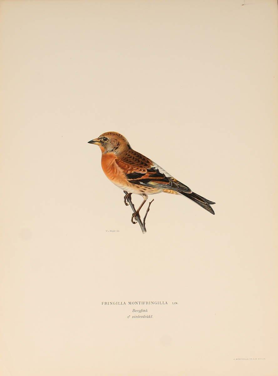12 Lithographs Of Birds - 1921-photo-4