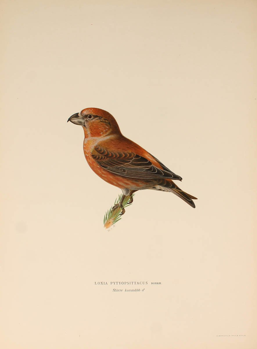12 Lithographs Of Birds - 1921-photo-7