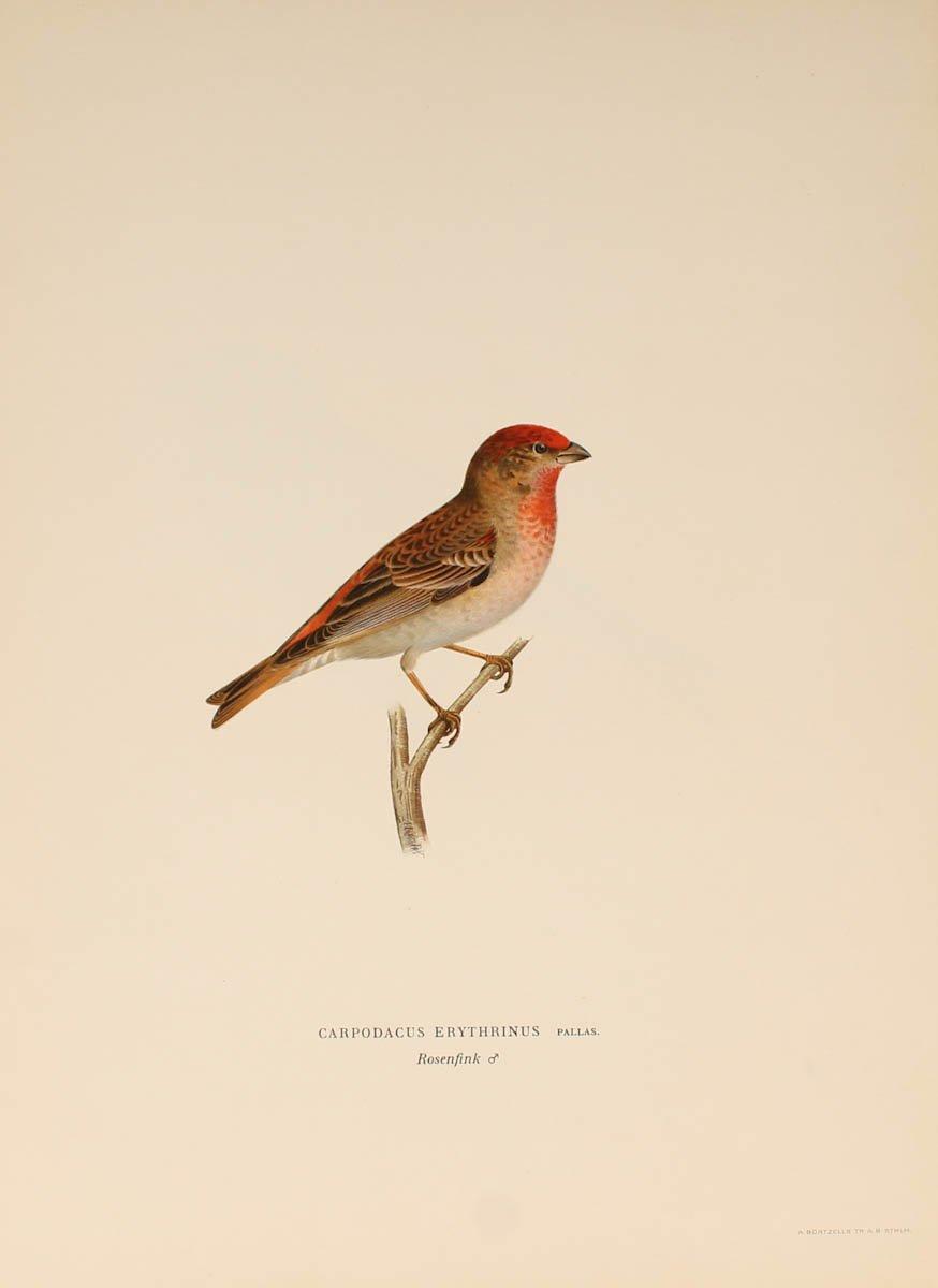 12 Lithographs Of Birds - 1921-photo-8
