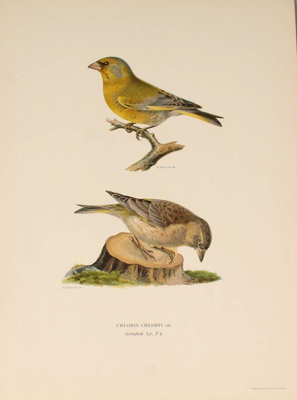 12 Lithographs Of Birds - 1921-photo-3