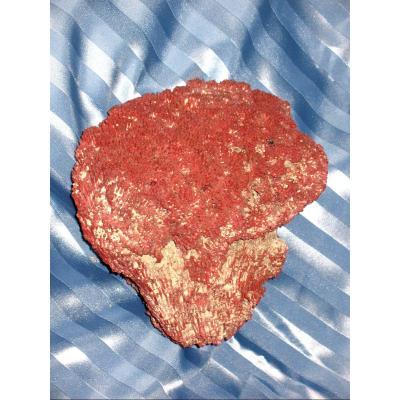 Gros corail rouge Tubipora Musica de 2,5 kg
