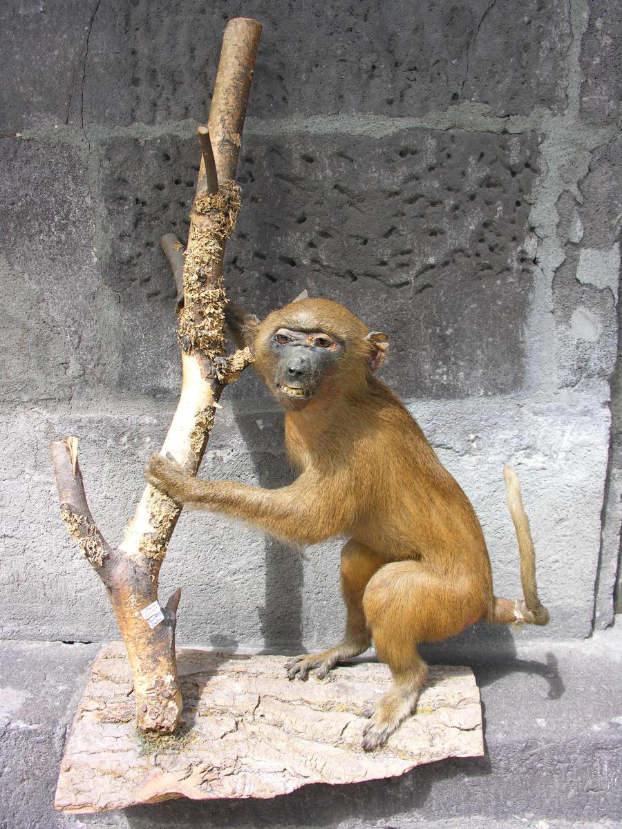Taxidermy Monkey Ancient Pre-convention Presented On Wooden Base
